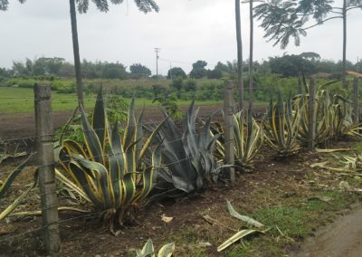 Cerco con Agaves