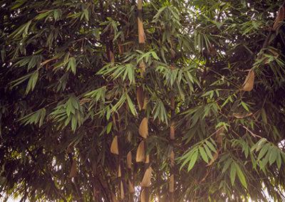 gigantochloa atroviolacea