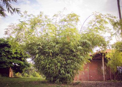 bambusa heterostachya