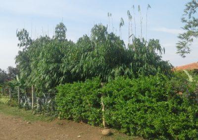 bambusa melocanna baccifera